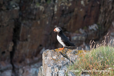Puffin in his domain (2)