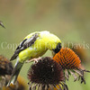 Spinus tristis – American goldfinch on Echinacea 2