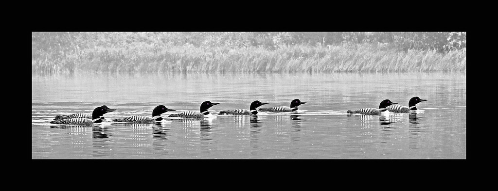 Eight Loons