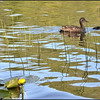 Mallard Hen & Duckling