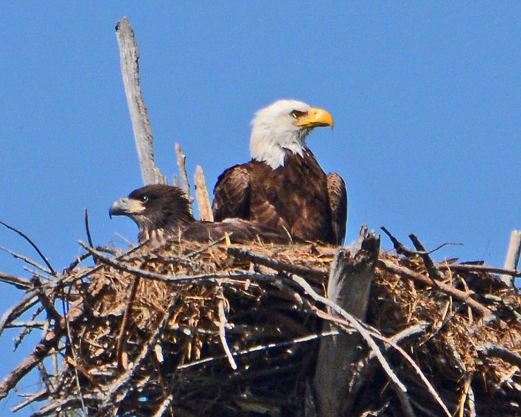 American Bald Eagle Eaglet and mature American Bald Eagle.