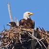American Bald Eagle Eaglet and mature American Bald Eagle.