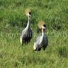 Balearica regulorum – Grey crowned cranes 1