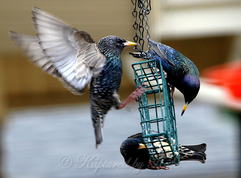 Three Starlings Going After the Last Bit of Suet