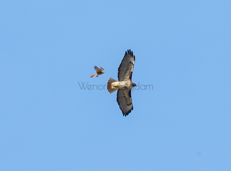 Red-tail Hawk and Kestrel.