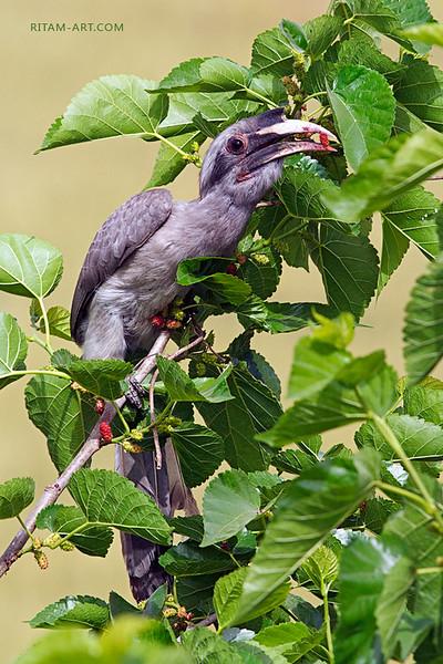 A Berry-Eater — A Hornbill / Поедатель ягод — птица-носорог