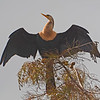 Anhinga perches on top of a Cypress tree.