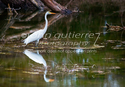Egret at Lost Creek-1