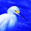 Snowny Egret.