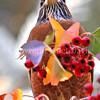 Turdus migratorius – American robin 12