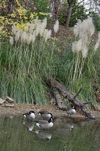 Anatidae -  Branta canadensis - Canada Goose