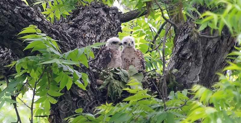 Two Baby Hawks