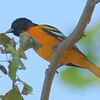 The Elusive Oriole