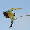 Rainbow Bee-eaters, Federation Walk, Gold Coast, Queensland.