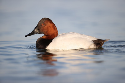 Canvasback Duck, Chesapeake Bay, Maryland #2