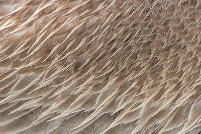 Brown pelican feather closeup