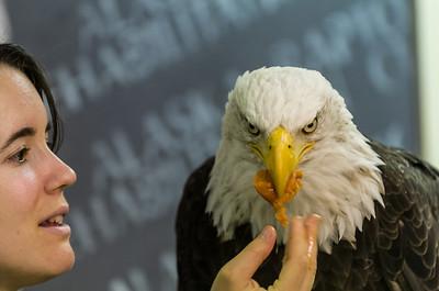Rescued Eagle Feeding