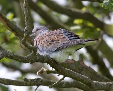 Turtle Dove at Otmoor 4th June 2017