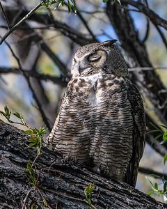 Sleeping Male Horned Owl