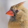 Female Cardinal portrait