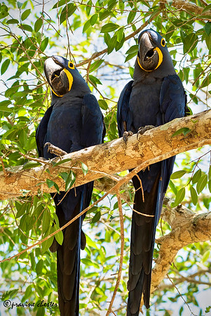 Macaw couple