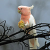 Major Mitchell's Cockatoo (Cacatua leadbeateri) with Paddymelon