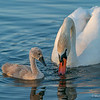 Swan Lake-4