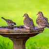 House Sparrow, Mourning Doves