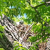 Baby Red-shouldered Hawk View 2