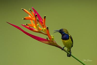 Male Olive-backed Sunbird, Singapore