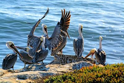 Pelican Waving