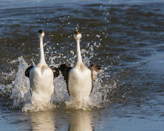 Dancing with the Western Grebes