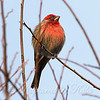 Male House Finch #3 View 2