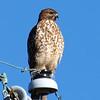 Beautiful Broad-winged Hawk