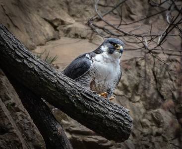 Peregrine Falcon on perch