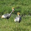 Balearica regulorum – Grey crowned cranes 3