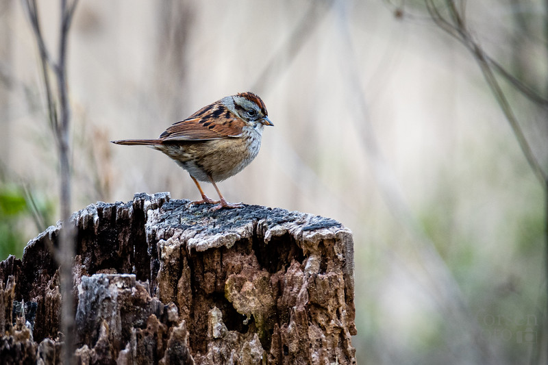Swamp Sparrow at Riverbend Park