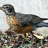 Baby Robin In My Yard