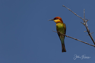 Chestnut-headed Bee-eater, Wilpattu