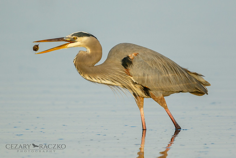 Great Blue Heron (Ardea herodias) with  a small, inflated puffer fish