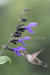 Archilochus colubris – Ruby throated hummingbird on 'Black and Blue' Hummingbird Sage 1
