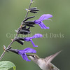 Archilochus colubris – Ruby throated hummingbird on 'Black and Blue' Hummingbird Sage 1