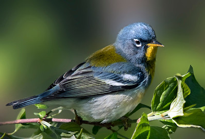 Northern Parula shines above all