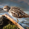Semi-palmated Sandpiper - Sackville Waterfowl Park, Sackville, New Brunswick