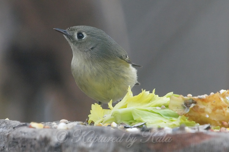 Rare Close-Up Of A Ruby-crowned Kinglet