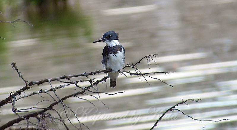 New Kingfisher