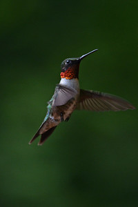 Ruby Throat