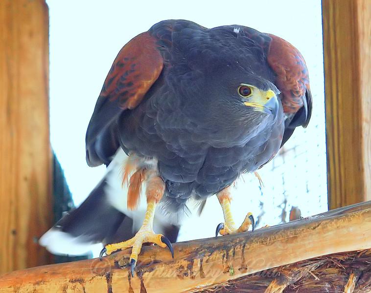 Prince is a Big Hawk