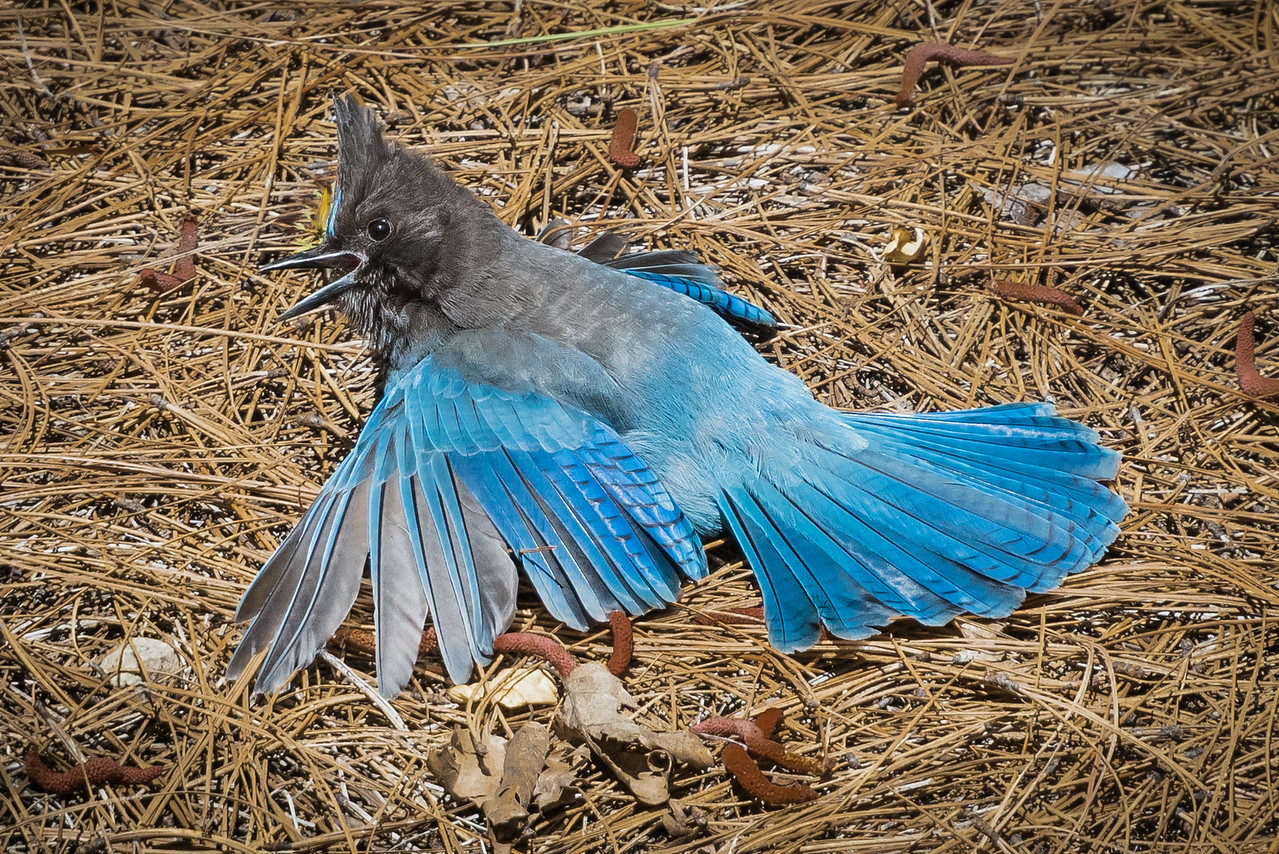 "Stellar's Jay ""Anting"""