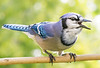 North American Blue Jay sounding off.